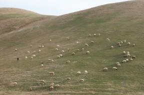 Sheep on Winter Grass Jerusalem
