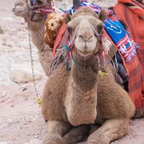Petra Camels Jordan