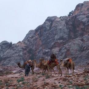 Camels Petra Jordan Cameldriver