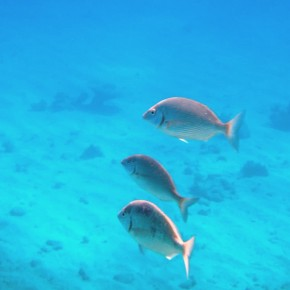 Fish Snorkeling Red Sea