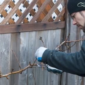 Pruning Espalier Pear