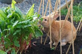 Rabbit Eating Sorrel