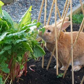 Rabbit Eating Sorrel