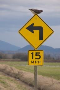 Hawk on Turn Sign