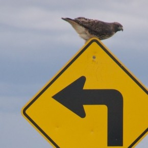 Hawk on Turn Sign