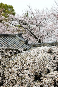 Cherry Blossoms at Horyuji