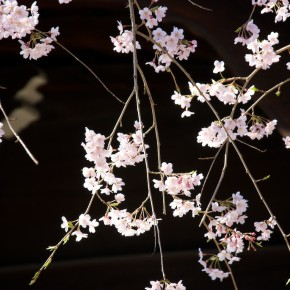 Blossoms at Chion-in