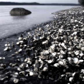 Oysters at Scenic Beach State Park