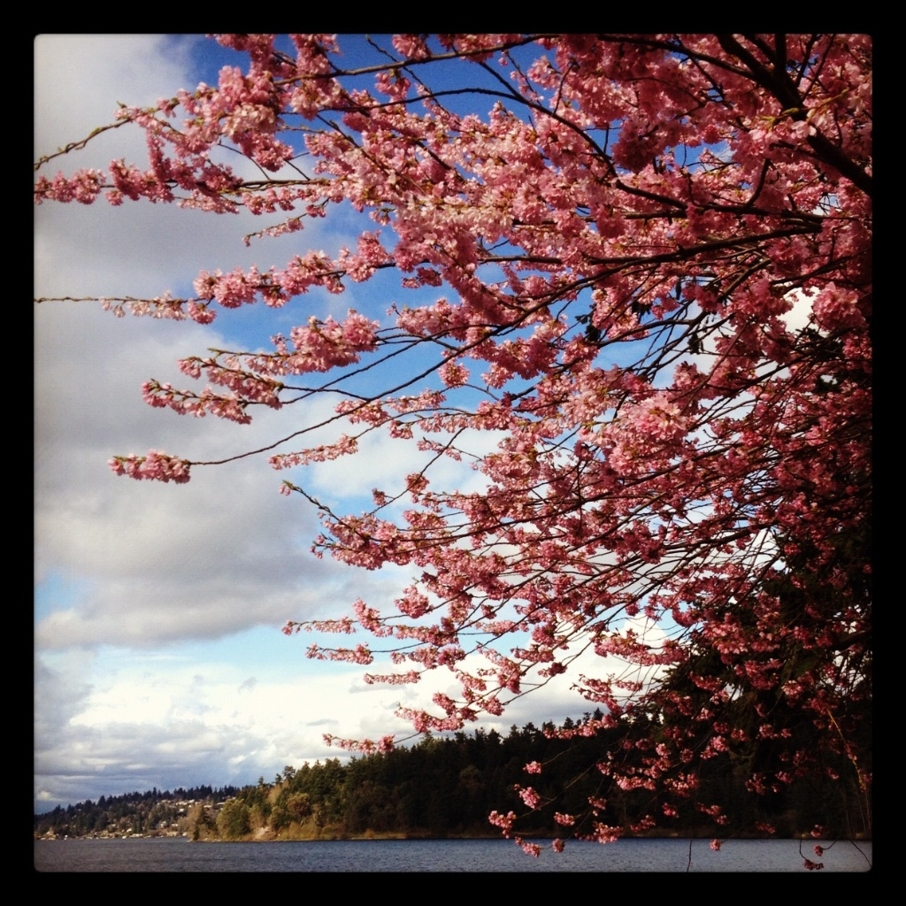 Lake Washington Plum Trees
