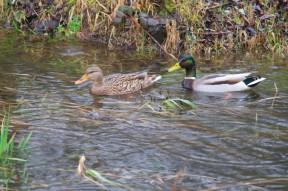 Mallards in Kelsey Creek