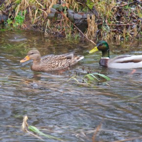 Mallards in Kelsey Creek