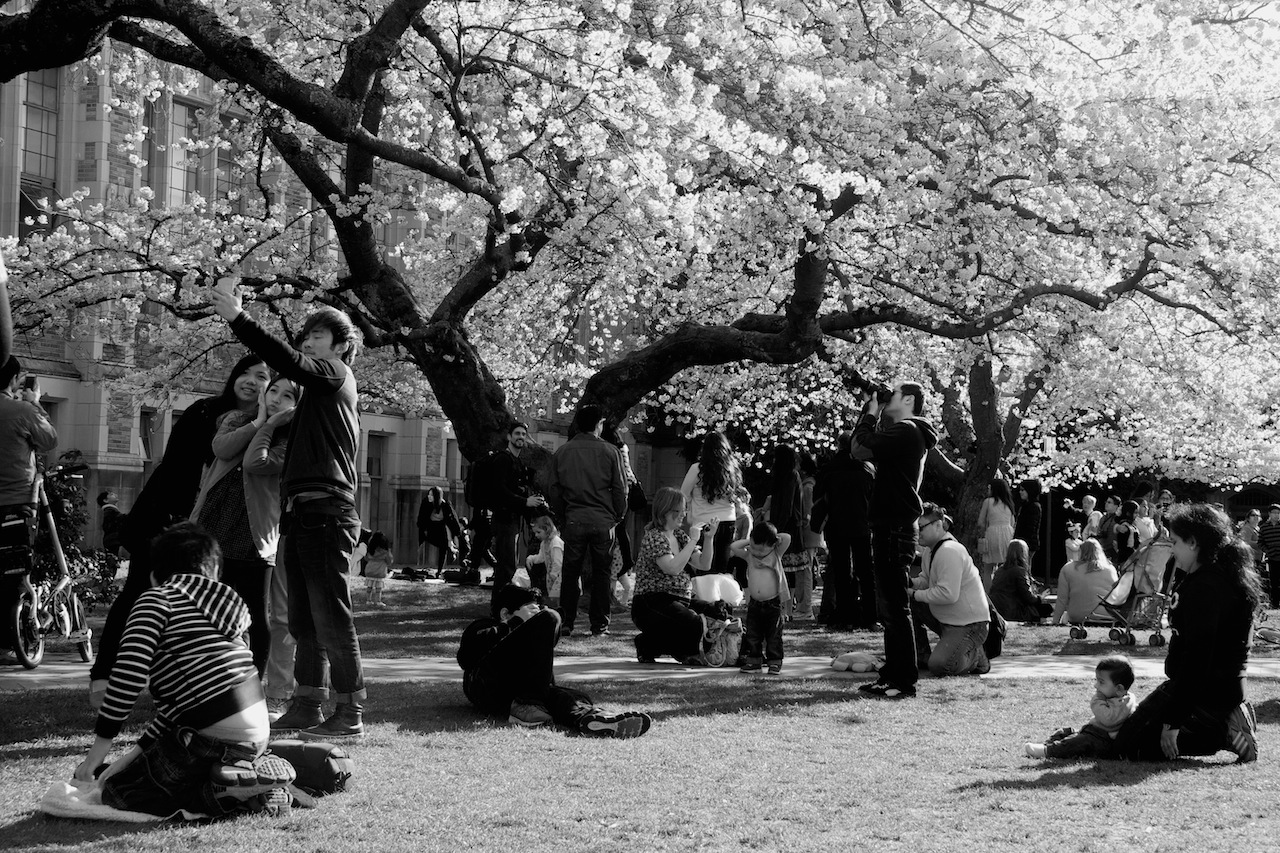 Crowd at Cherry Blossoms