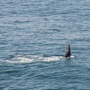 Grey Whale off Bodegea Head