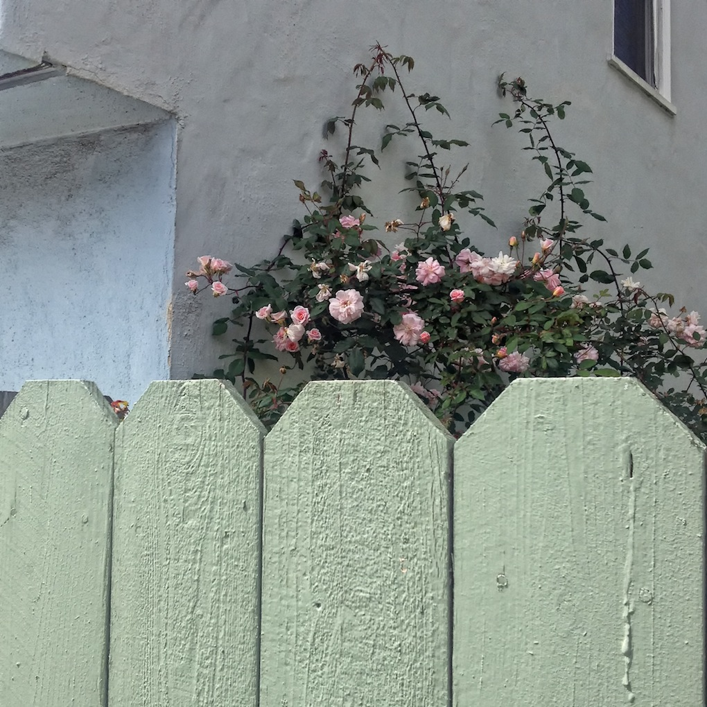 Roses in Outer Sunset