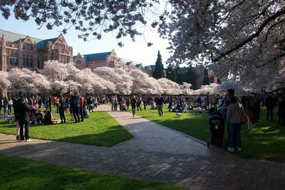 UW Cherry Blossoms