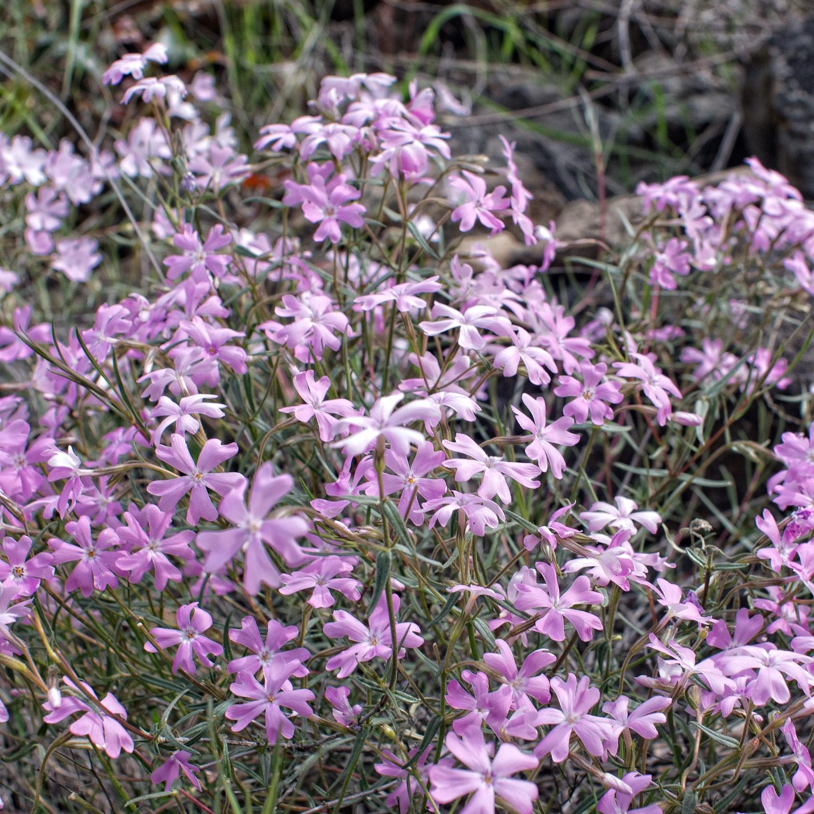 Yakima Canyon Phlox Spring