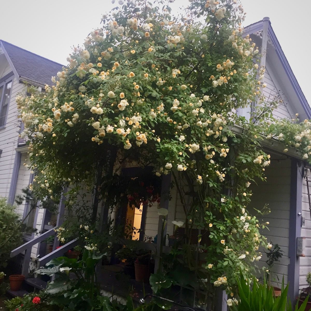 yellow climbing rose seattle