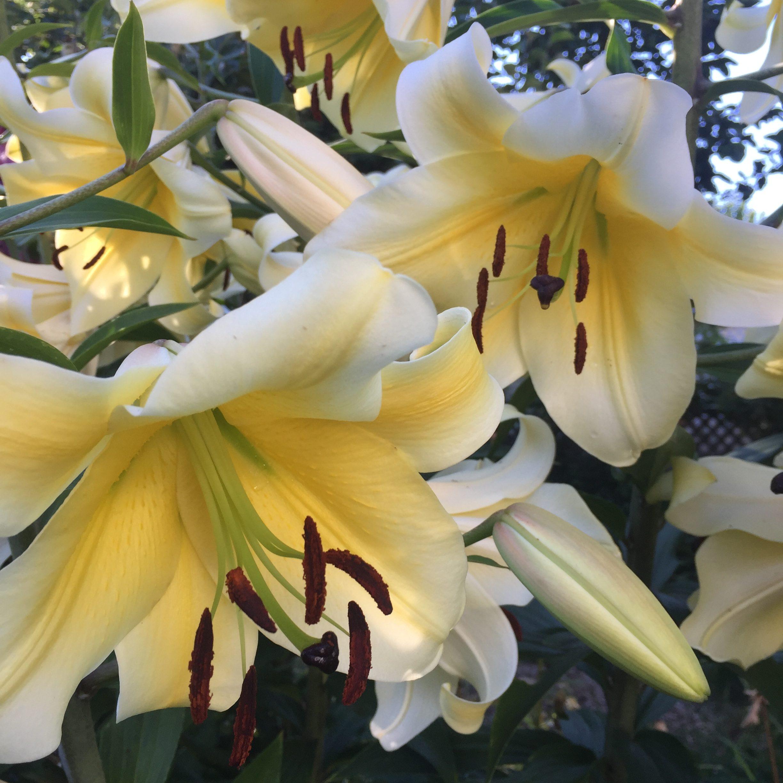 Yellow Lilies Knox Gardner