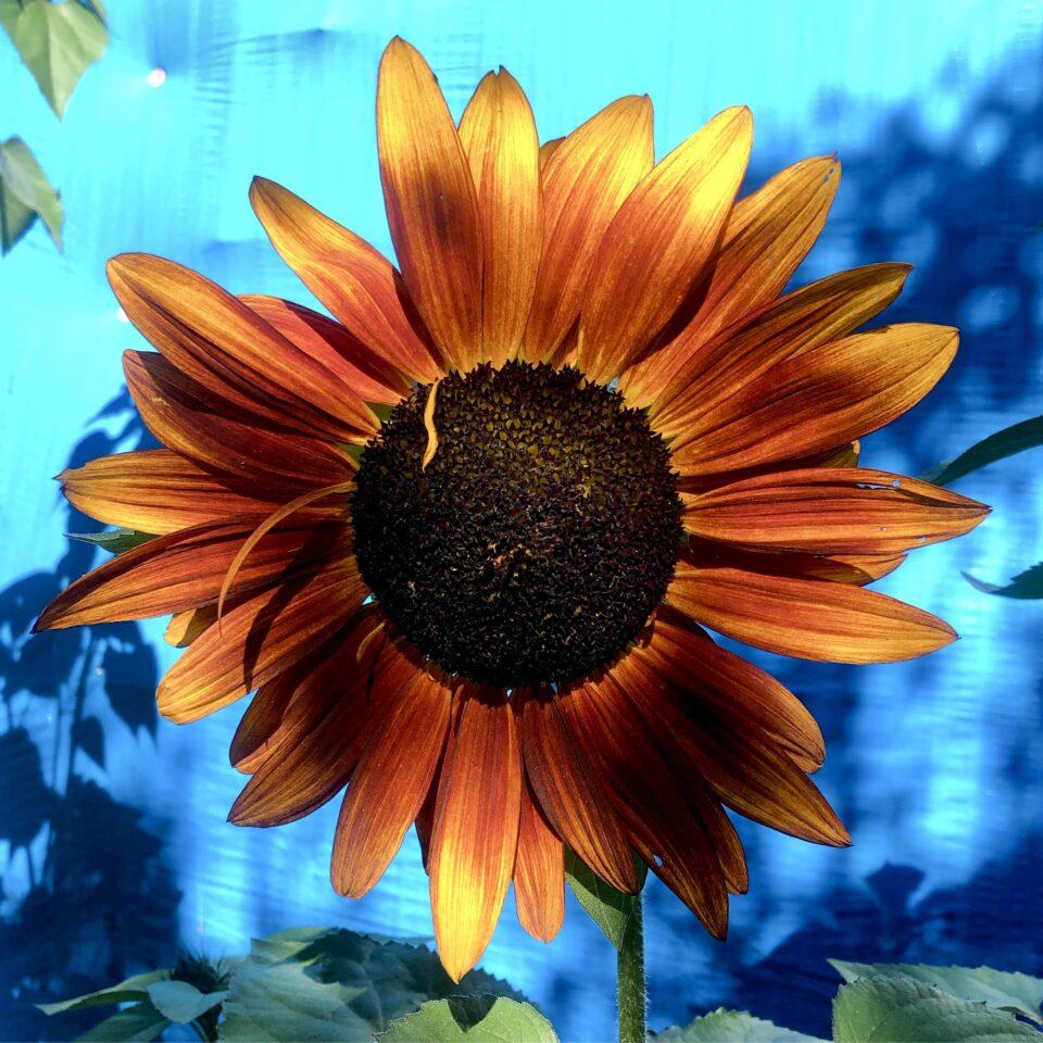 Sunflower Orange Blue
